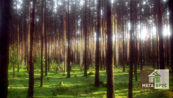 Хвойные леса Костромской области