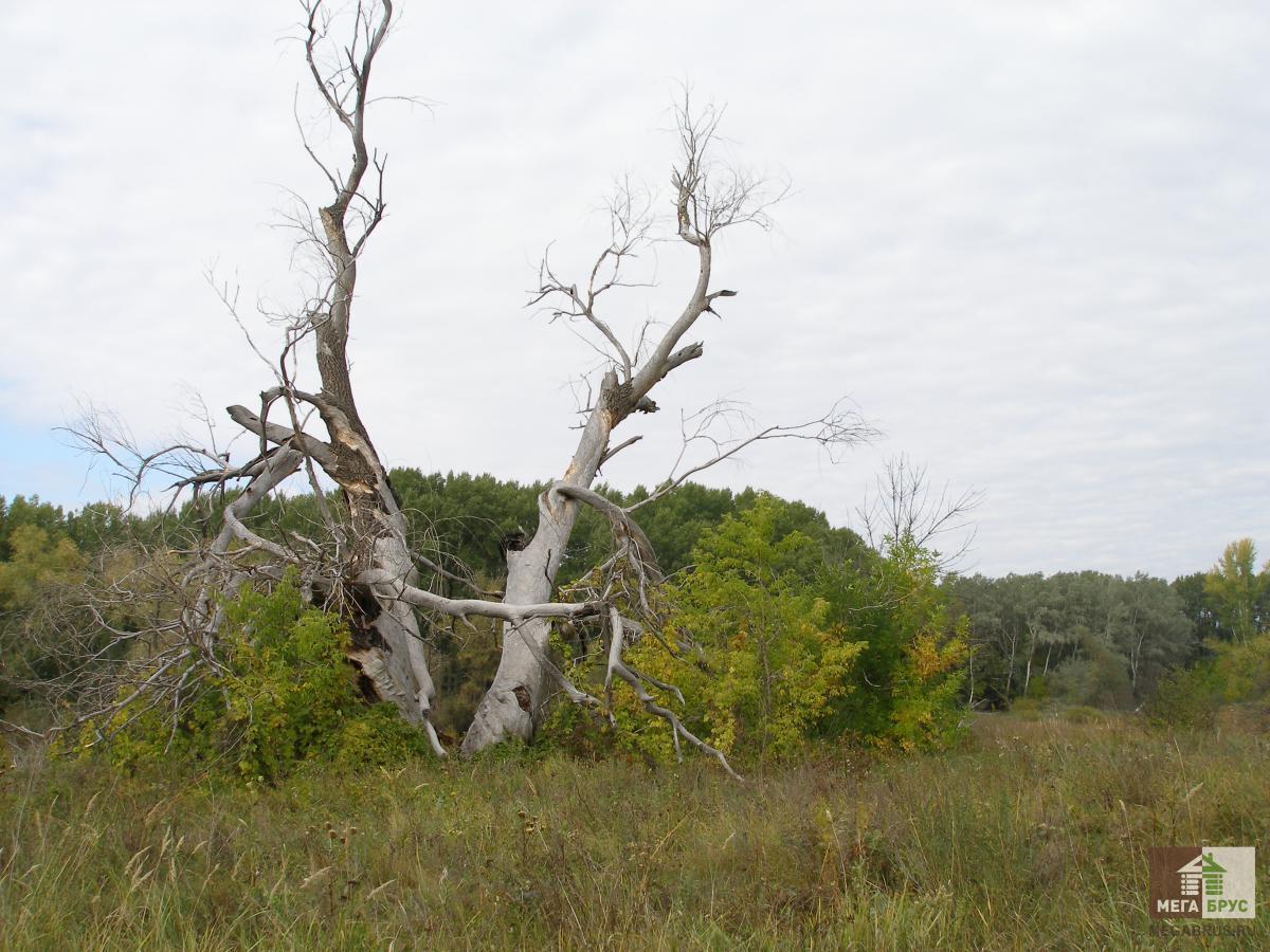 Сухое дерево, сухостой